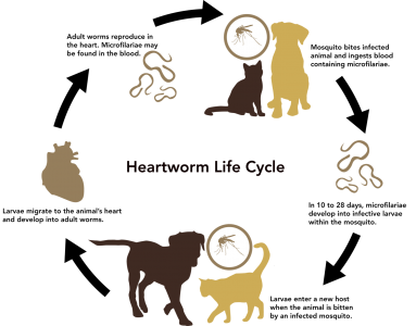 Heartworm_Life_Cycle